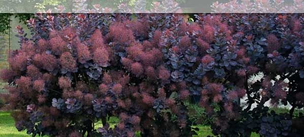 Black-Purple-Plants-San-Diego-1